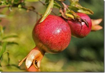 101104_pomegranate1