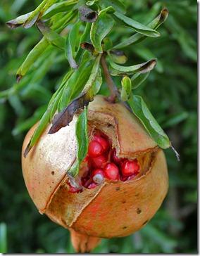 101104_pomegranate3