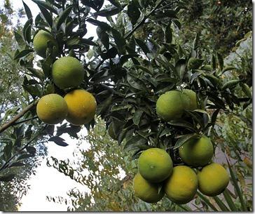 101107_green_oranges