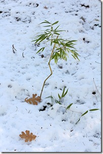 101125_ph_aureosulcata_under_snow
