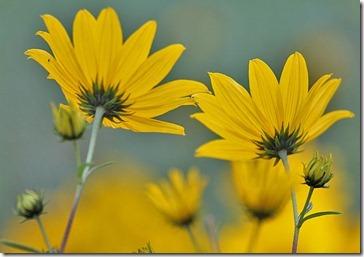 101114_perennial_sunflower