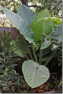 101122_Alocasia-macrorrhiza2