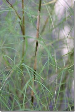 101207_bamboo_muhly3