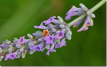 101219_lavender