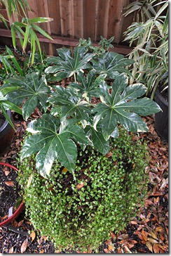 101208_brown_pot_with_variegated_fatsia