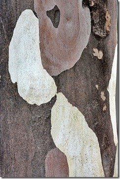bark_gum_tree