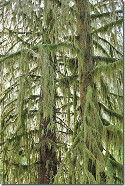 100729_Tree-moss-isothecium-myosuroides