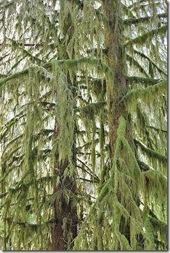 100729_Tree-moss-isothecium-myosuroides