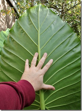 alocasia-with-hand