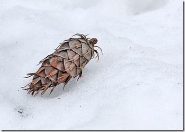 101224_pinecone_on_snow