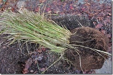 110109_fountain_grass_big_rootball