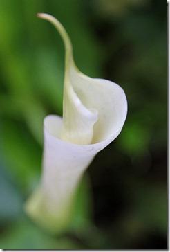 110116_callas_flower