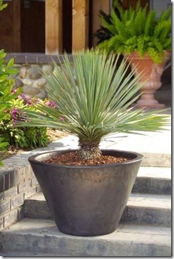 yucca_rostrata