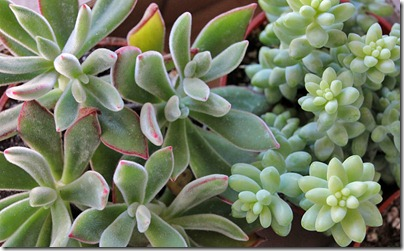 110120_sedum_treleasei echeveria_pulvinata2