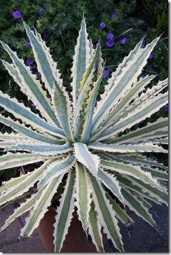 agave_frostbite