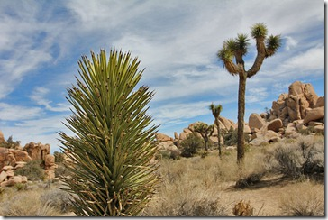 110221_joshua_tree_np_jp_baby