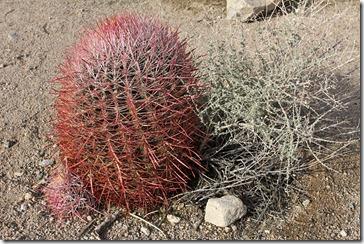 110221_joshua_tree_np_ferocactus_cylindraceus