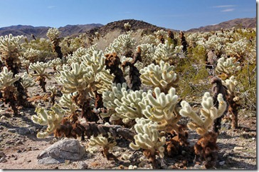 110221_joshua_tree_np_cholla_garden1