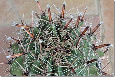 110227_ferocactus_latispinus