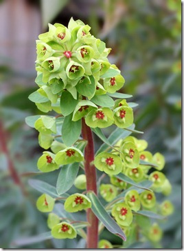 Euphorbia-martini-Tiny-Tim_2
