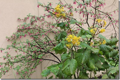 Ribes-malvaceum