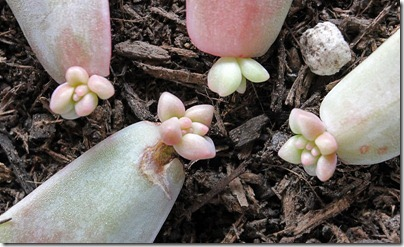 110326_Graptopetalum-paraguayense_02