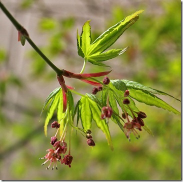 110316_green_acer_10