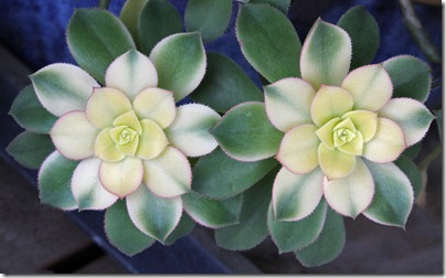 110323_Aeonium-kiwi_02