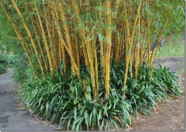 Bambusa-vulgaris-Vittata-Royal-Bot-Garden-Sydney-091227_04