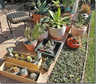 110328_potted_succs