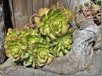 110410_aeonium_bolinas