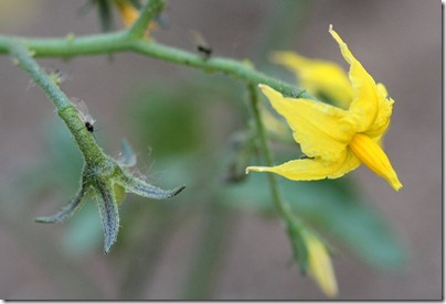110502_tomato_flower