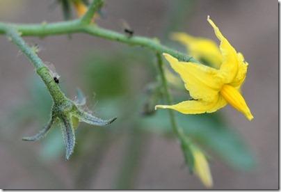 110502_tomato_flower
