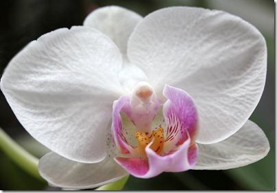 110424_Phalaenopsis5