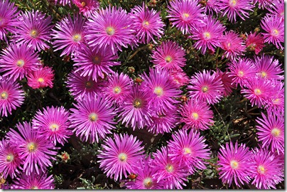 110426_Delosperma_cooperi_06