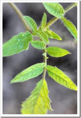 110510_tomato_seedling