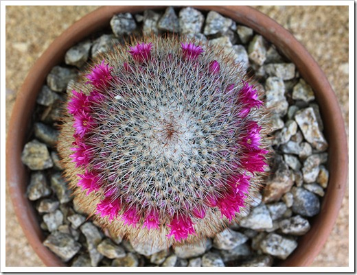 110509_Mammillaria-spinosissima_01
