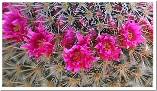 110509_Mammillaria-spinosissima_04