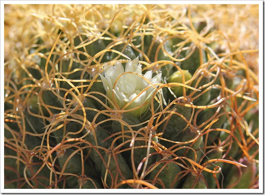 110509_Mammillaria-camptotricha-marnier-lapostollei_01