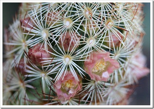 110510_Mammillaria-elongata-Julio_05
