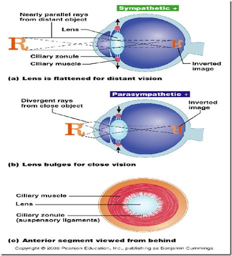 Corneal+reflex+pathway