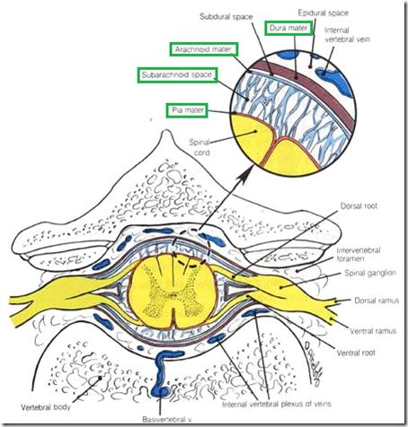 medulla spinalis lig flavum