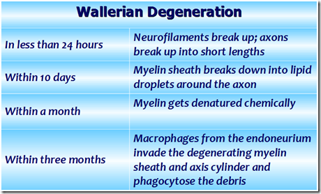 nerve regeneration essay Neuroregeneration refers to the regrowth or repair of nervous tissues, cells or cell products such mechanisms may include generation of new neurons, glia, axons, myelin, or synapses.