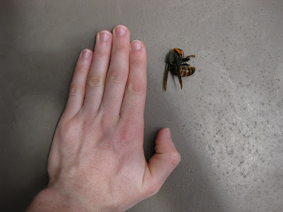 giant japanese bee