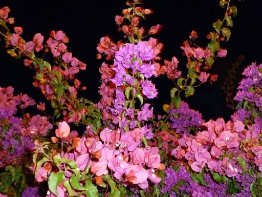 цветы альгарве