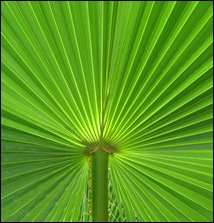 Palm Leaf-5