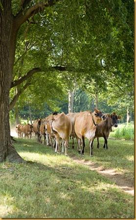 cow-herd-0709-de