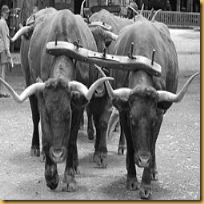 250px-Bullock_yokes