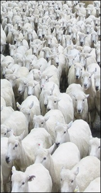 sheep2