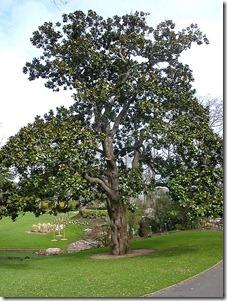 450px-Jardin_des_plantes_Nantes-Magnolia_Hectot